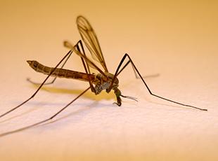 mücken. fotoquelle: www.JenaFoto24.de  / pixelio.de