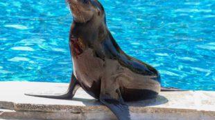 Die Kalifornische Seelöwin Nalu ist ein Neuzang der Wilhelma in Stuttgart. Mit einem Jahr weiß sie schon genau, wie der Hase läuft. (Foto: Wilhelma)