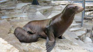 Der neugeborene Kalifornische Seelöwe Hollo trinkt bei seiner Mutter Evi. (Foto: Wilhelma)