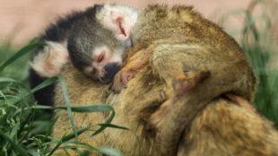 Nach ausgiebigem Toben und Klettern schläft das kleine Äffchen auf dem Rücken der Mama ein. (Foto: Jana Müller)